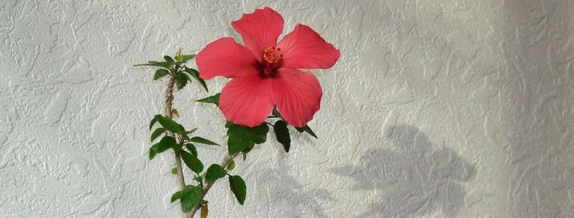 hibiscus oil health benefits